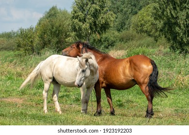 Grazing horses on a green pasture on a sunny summer day against a blue sky. A couple of horses graze in a meadow.