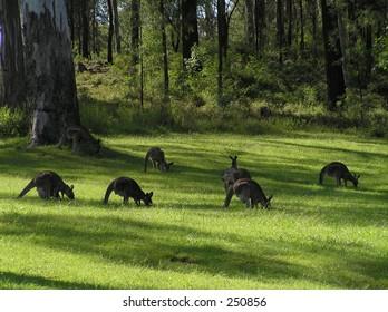 Grazing kangaroos
