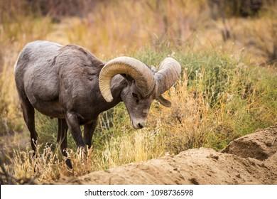 Grazing male (ram) big horn sheep in Joshua Tree National Park in California USA.