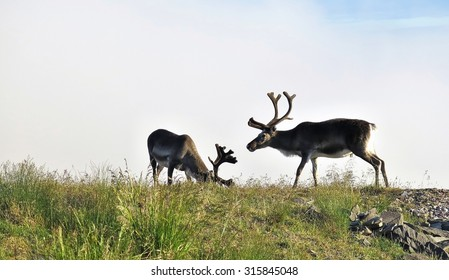 grazing reindeers in Nordkapp in Norway