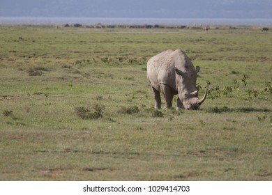 Grazing Rhino on Green Grasslands in Front of Lake Shore