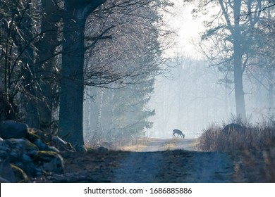 Grazing Roe deer in the first morning light on a foggy country road
