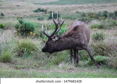 Grazing sambar (Rusa unicolor) in the Horton Plains, Sri Lanka