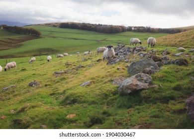 Grazing Scottish Blackface Merino Sheep (Ovis aries) in the countryside landscape of  the Pentland Hills Regional Park in southwest Edinburgh, Scotland.