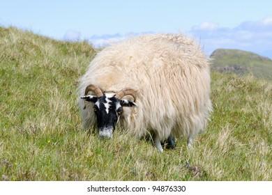 Grazing Scottish blackface sheep, Quirain, Isle of Skye, Scotland