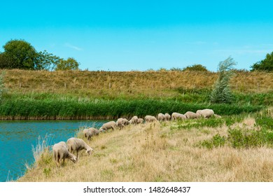 grazing sheep along water in Veere, The Netherlands