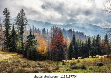 Grazing sheep in the autumn colorful season. Disturbing clouds and fog.