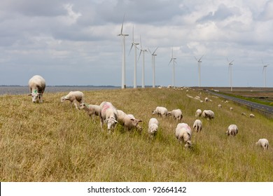 Grazing sheep at a dike with large wind turbines in the Netherlands