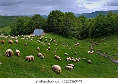 Grazing sheep in the Durmitor Mountain Region, Montenegro