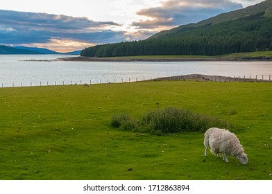 Grazing sheep with a landscape of sea at sunset in the background, Isle of Skye, Scotland. Concept: animal life, national symbol, life on farms, wool production