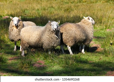 Grazing sheep in meadow