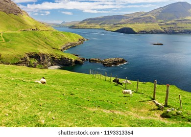 Grazing sheep on the background of the Faroe islands
