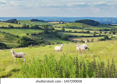 Grazing sheep on hilly green fields of Shropshire in United Kingdom
