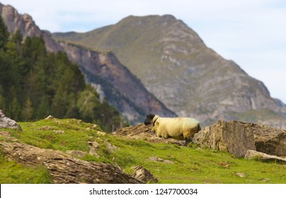 Grazing sheep on the meadow with mountains on bacground, valley of Gavarnie,  Pyrenees Occidentales, France