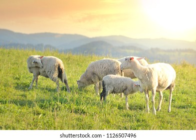 Grazing sheep on a meadow at sunset