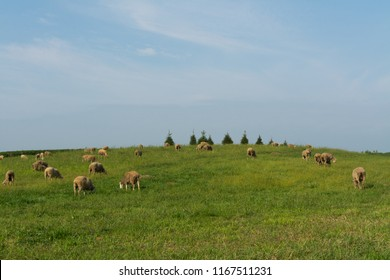Grazing sheep on rural Midwest hillside on a Summer morning.