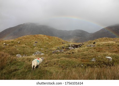 Grazing sheep slowly heading to the rainbow in Connemara National Park in Ireland