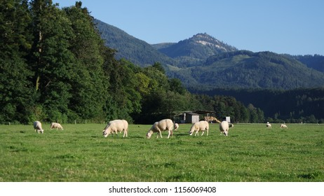 Grazing sheep under Alpine peaks in Austria contribute to a healthy ecosystem. Biological farming. Organic Lamb.