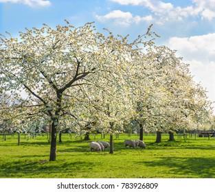 Grazing sheep under flowering cherry trees.