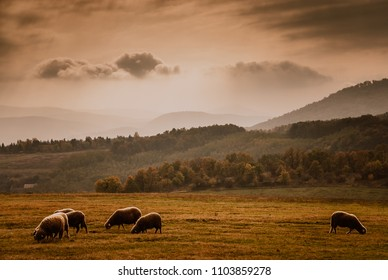 Grazing sheeps on beautiful autumn mountain field in cloudy weather