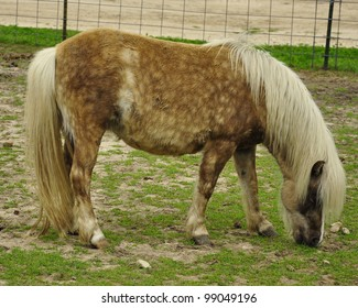 Grazing Spotted Pony
