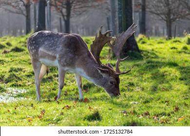 Grazing stag in the autumn sunshine inside Phoenix Park Dublin