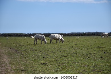 Grazing white cattle in a green field against a cloudless blue sky