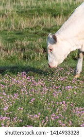 Grazing white cow among pink flowers by springtime at the swedish island Oland