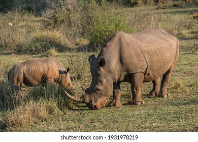 Grazing White Rhinoceroses (Ceratotherium simum), Soutpansberg, South Africa