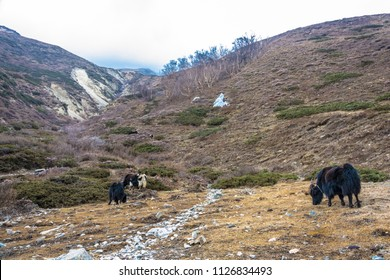 Grazing yaks in the Himalayas on a spring cloudy day, Nepal.