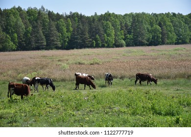 Grazing young cows in a marshland at the swedish island Oland by summer season