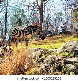 Grazing Zebra Sideview
