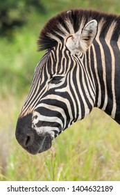 grazing zebras in the national parks and nature reserves of south africa