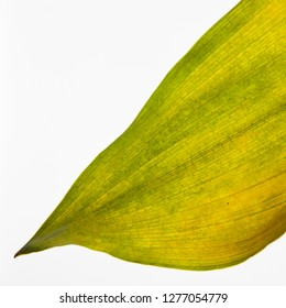 grean leaf isolated on white
