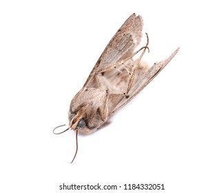 Grease moth (Aglossa cuprina), nocturnal moth, insect related to butterflies (Lepidoptera) isolated on white background.
