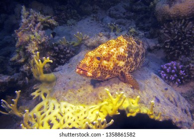 The greasy grouper (Epinephelus tauvina), also known as the Arabian grouper lies on the coral. Big grouper in the Red Sea.