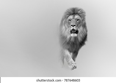Great african lion wildlife art collection effect of darkness white edition