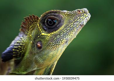 Great angle head lizard closep head,  Indonesian reptile