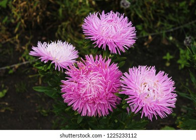 Great asters invite friends to the ball. Asters flowers on an isolated background