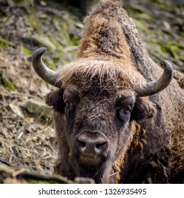 great aurochs, king of the forest