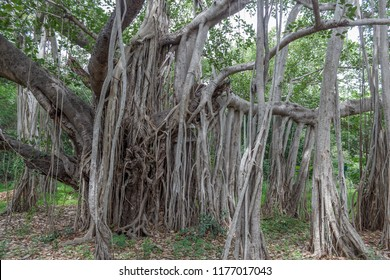 great banyan tree grown very huge in chennai with thousands of branches.