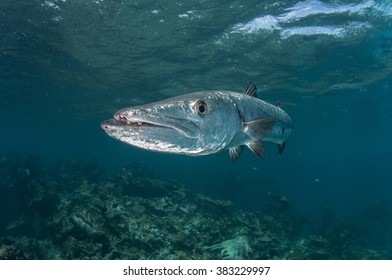 Great barracuda on reef in the Bahamas