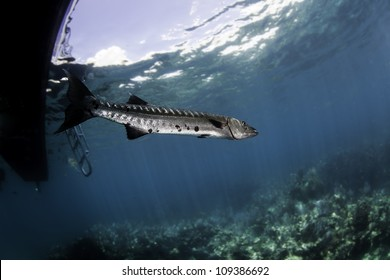 A great barracuda swimming beneath a boat and ladder in blue water with coral reef below and clouds through the surface above. In the John Pennekamp State Park in Key Largo, Florida