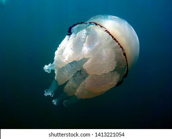 great barrel jellyfish or dustbin-lid jellyfish or frilly-mouthed rhizostoma pulmo true jellyfish class scyphozoa is gently carried away by the sea current