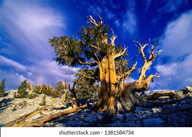Great Basin Bristlecone Pine, Inyo National Forest