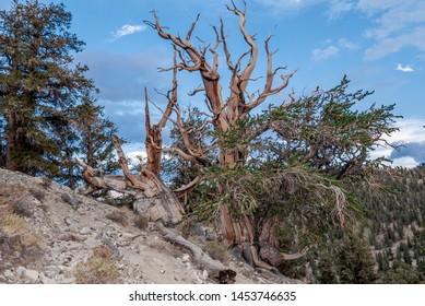 Great Basin Bristlecone Pine (Pinus longaeva) in White Mountain, California, USA