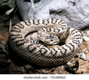 Great Basin rattlesnake, Crotalus oreganus lutosus, on oily body has oval spots