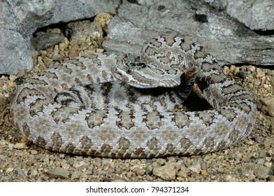 Great Basin Rattlesnake, (Crotalus viridis lutosus)