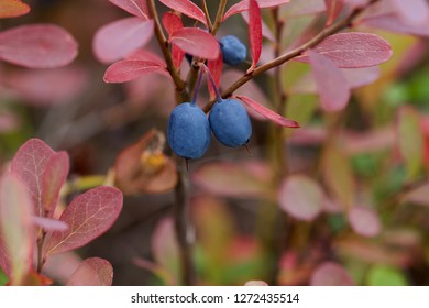 A great bilberry branchlet with two ripe berries.