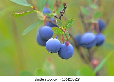 A great bilberry shrub. Captured on August 8, 2017